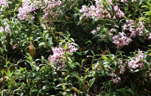 赤水金钗石斛怎么种植 金钗石斛的种植方法