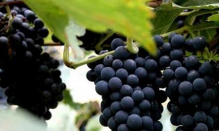 山葡萄的功效与作用 山葡萄的营养价值