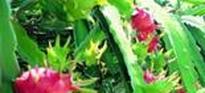 火龙果的种植方法与管理