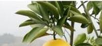 吃柚子会不会上火 柚子的营养价值