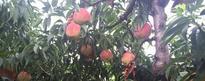 深州蜜桃什么时候成熟