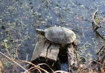 乌龟怎么杀法?食用禁忌有哪些?