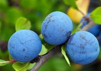 吃蓝莓有什么好处?价格是多少钱一斤?