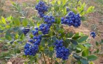 野生蓝莓更好吃!成熟时间是什么时候?