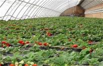 草莓冬季施肥方法