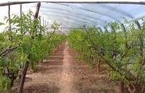 果树设施栽培有几种模式