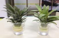 菠萝叶子怎么种水培