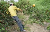 桑葚树施肥方法