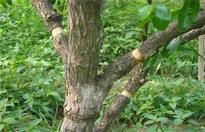 枣树环割时间和方法