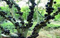 树葡萄种植技术与管理
