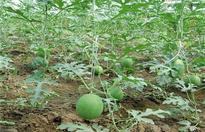 西瓜种植需要注意些什么