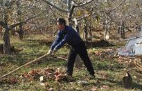苹果春季清园注意事项