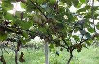 猕猴桃树修剪注意事项