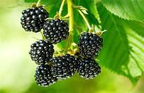 黑莓的栽培技术