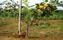 如何提升柿树的嫁接成活率