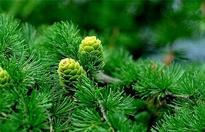 松子的种植方法