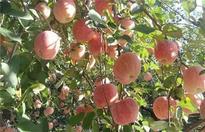 苹果着色不良的原因及解决方法