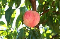 如何种植桃树