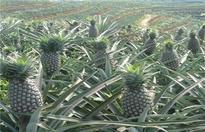 菠萝的施肥方法