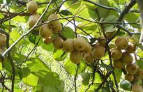 猕猴桃什么时候成熟?