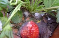 草莓灰霉病用什么特效药?