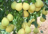 柚子树要种植几年才能结果?