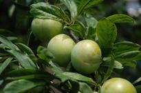 李子树的栽培技术