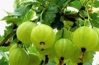 灯笼果的种植技术