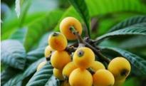 枇杷花茶的功效与作用 喝枇杷花茶的好处