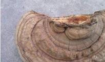 树舌灵芝的功效与作用 树舌灵芝怎么吃
