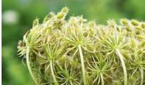 野胡萝卜籽的功效与作用及禁忌