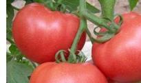 吃番茄的禁忌 吃番茄要注意什么