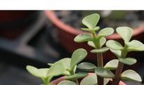 马齿苋树如何养殖 马齿苋树的繁殖方法