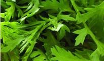 芹菜叶的功效与作用