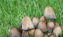 野生草菇的营养价值和图片